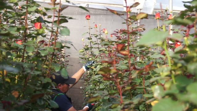 man cuts rose for export inside greenhouse - audio software stock videos & royalty-free footage