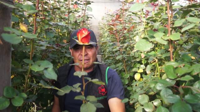 vidéos et rushes de man cuts rose inside greenhouse - composition florale