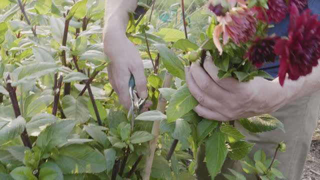 ms of man cutting dahlia flowers with secateurs in allotment. - secateurs stock videos & royalty-free footage