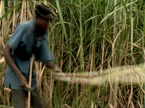 ms man cutting sugar cane stalks with machete in sugar cane field / kigali, rwanda - フツ族点の映像素材/bロール