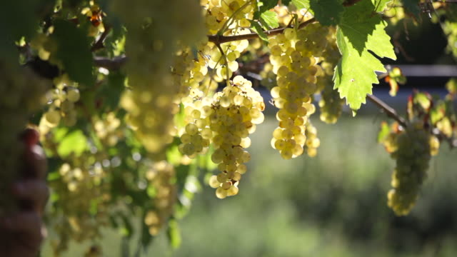 man cutting white grapes - vine plant stock videos & royalty-free footage