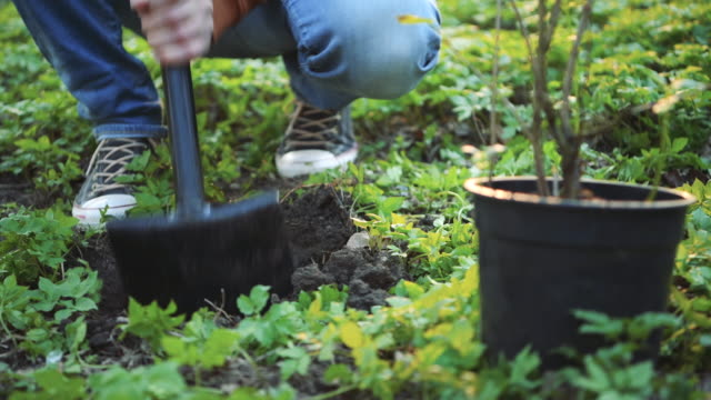 man digging for tree planting in springtime - planting stock videos & royalty-free footage