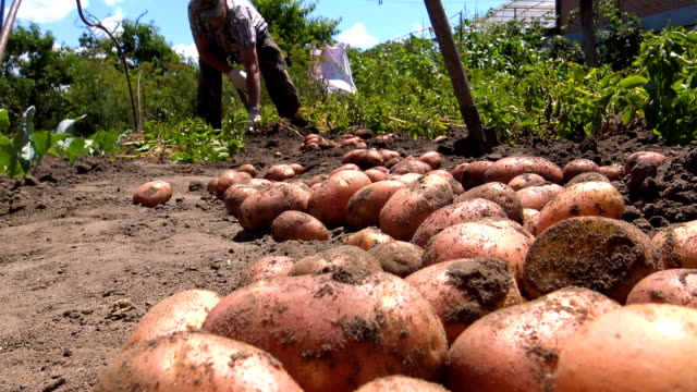 man digging natural potatoes - root vegetable stock videos and b-roll footage