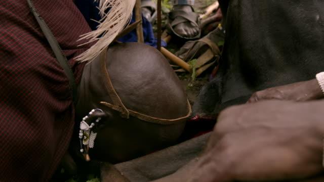 vidéos et rushes de a man drinks blood from a bull as part of a maasai ceremony - objet manufacturé