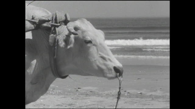 vidéos et rushes de a man drives an oxcart full of sand along a seashore in chiba, japan. - animaux au travail