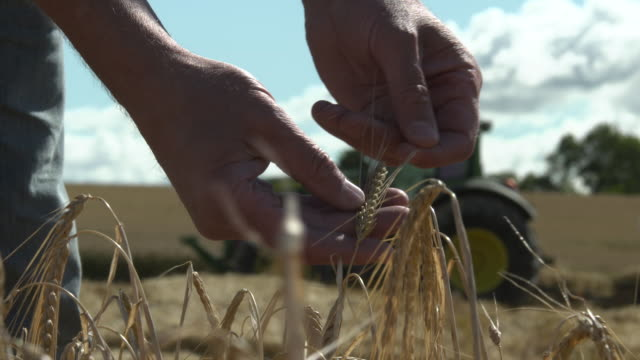 vídeos y material grabado en eventos de stock de man examines ripe wheat crop in field, uk - differential focus