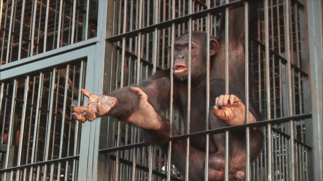 vidéos et rushes de ms zo man feeding chimpanzee in cage at zoo / ngamba chimp sanctuary, ngamba island, uganda  - cage
