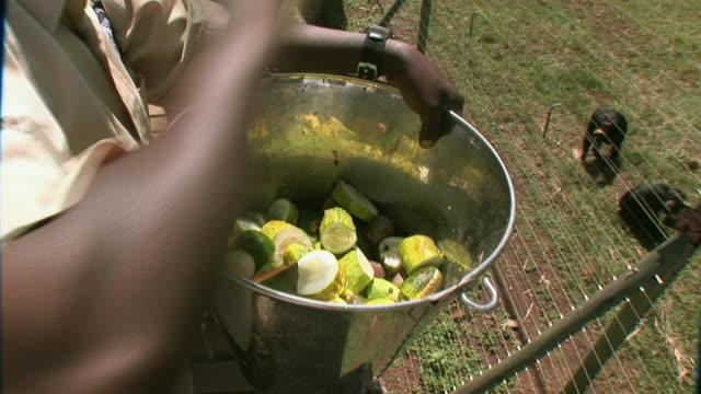 vídeos de stock, filmes e b-roll de ws pan man feeding fruits to chimpanzee's / ngamba chimp sanctuary, ngamba island, uganda - grupo mediano de animales