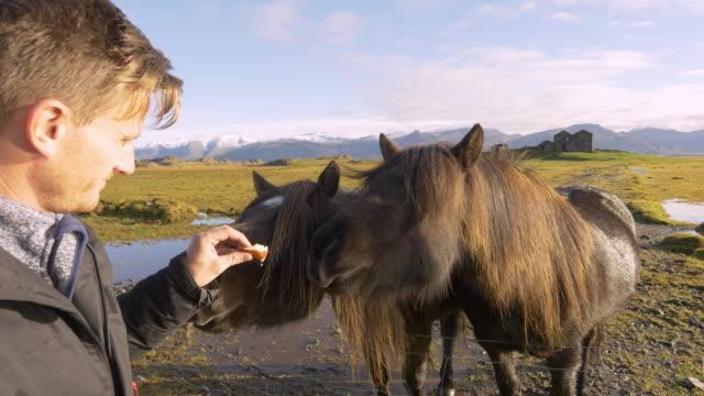 stockvideo's en b-roll-footage met man voederen van ijslandse paarden - dierlijk gedrag