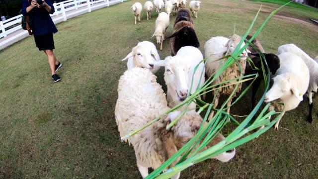 POV: Mann Fütterung Schafe
