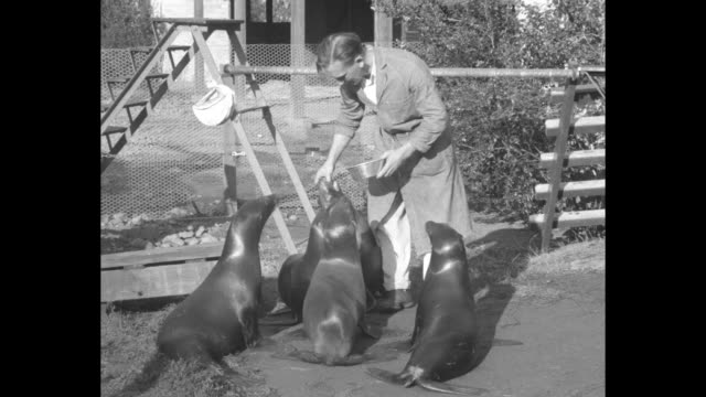 ms man feeds seals in fenced area woman in the background talks about seal feeding and training / cu man feeds seals one barks / cu man teaches seal... - performing tricks stock videos & royalty-free footage