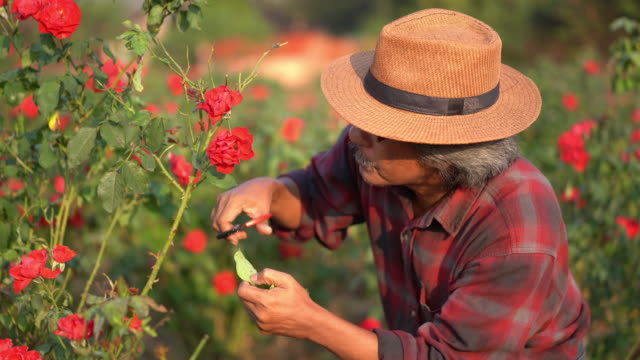 man gardener cut or trim rose - secateurs stock videos & royalty-free footage