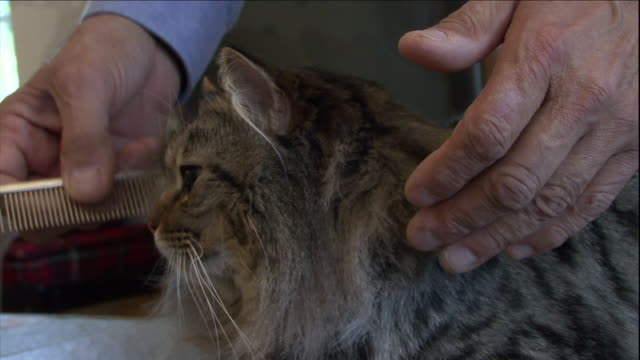 a man grooms an american bobtail cat. - combing stock videos & royalty-free footage