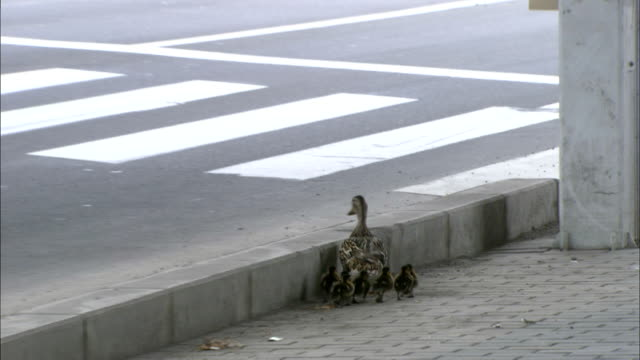 man halts traffic to let mother duck waddle across busy road with ducklings in tow, hokkaido - zebra crossing stock videos & royalty-free footage