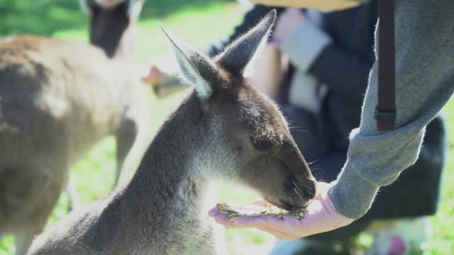 man hand feeding kangaroos - west direction stock videos & royalty-free footage