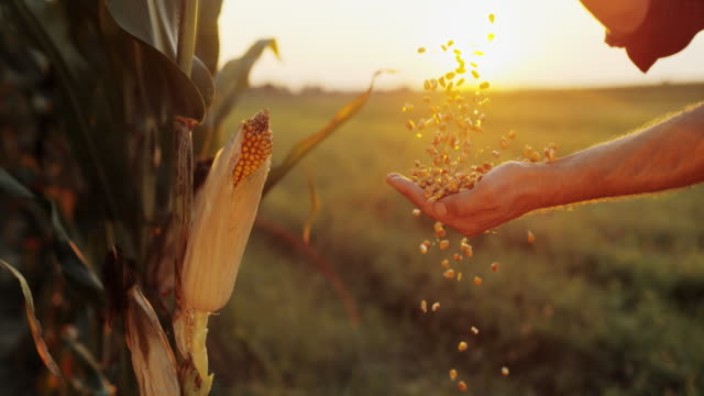 slo mo man hands cupping maize kernels - cereal plant stock videos & royalty-free footage