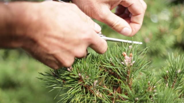 stockvideo's en b-roll-footage met man hands trimming a bonsai - silvestre