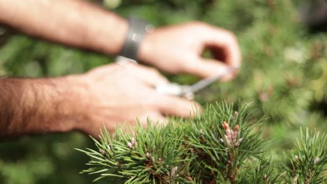 vídeos y material grabado en eventos de stock de man hands trimming a bonsai - aguja parte de planta