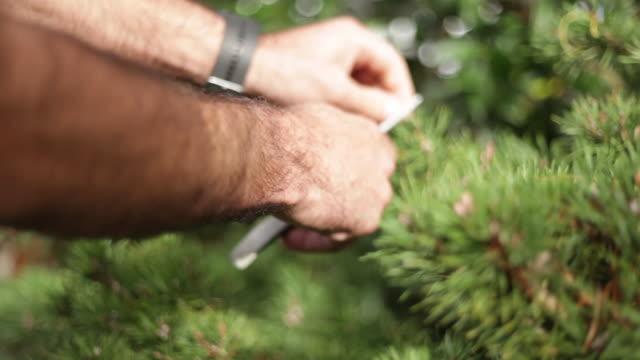 Man hands trimming a bonsai