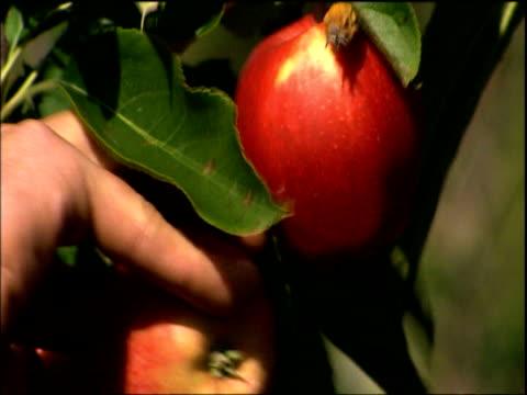 vídeos y material grabado en eventos de stock de man harvesting apples by hand kent - manzana