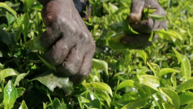 cu man harvesting fresh green tea leaves,sri lanka - sri lanka stock videos & royalty-free footage