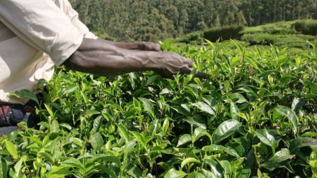 ms man harvesting fresh green tea leaves,sri lanka - tè raccolto video stock e b–roll