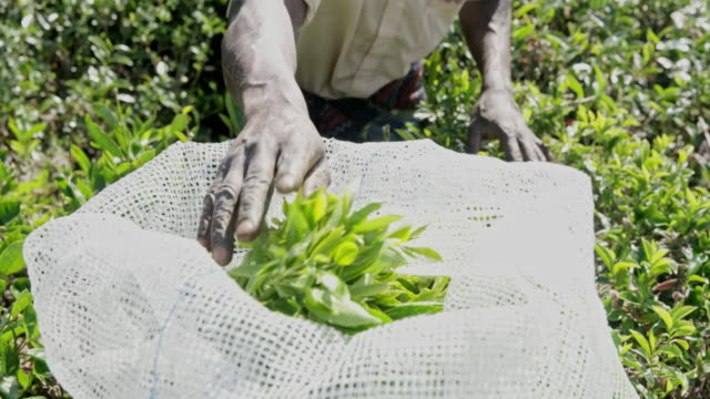 ms man harvesting fresh green tea leaves,sri lanka - sri lanka stock videos & royalty-free footage