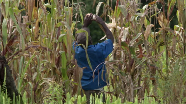 man harvesting maize (zea mays) crop, mount rungwe, tanzania - corn cob stock videos & royalty-free footage