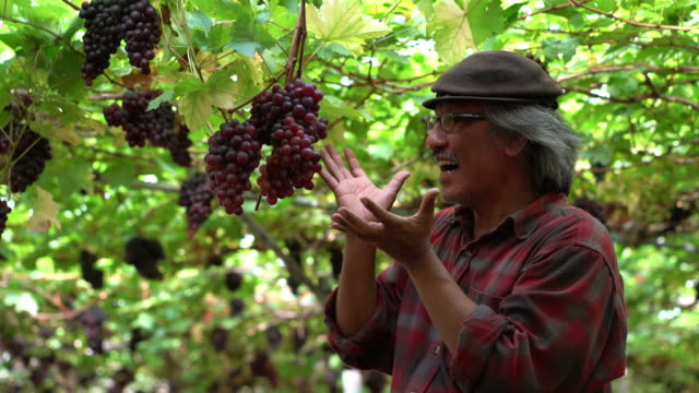 man harvesting ripe grape in farm and smiling - winemaking stock videos & royalty-free footage