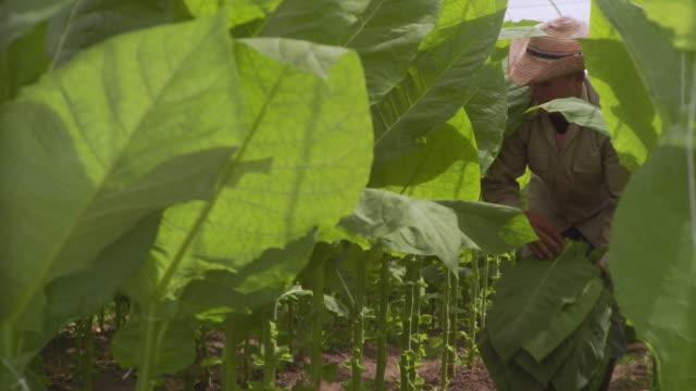 CU Man harvesting tobacco leaves / San Luis, Pinar del Rio, Cuba