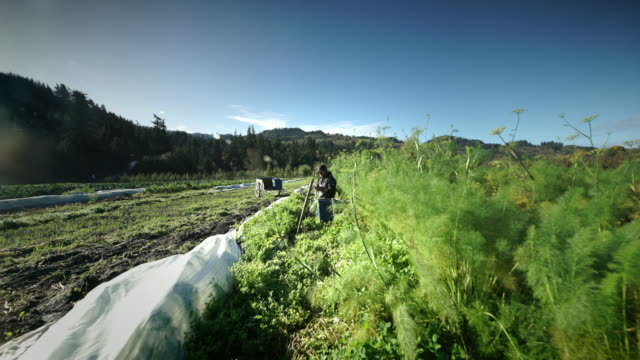 Man harvesting vegetables on Organic Farm