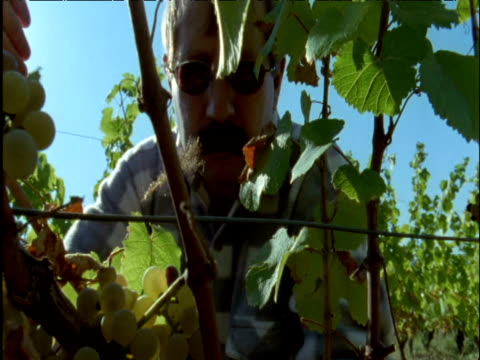 man harvests grapes on vineyard france - pruning shears stock videos & royalty-free footage