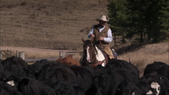 Man herds domestic cattle on horseback, Yellowstone, USA