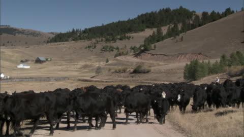 stockvideo's en b-roll-footage met man herds domestic cattle on horseback, yellowstone, usa - wyoming