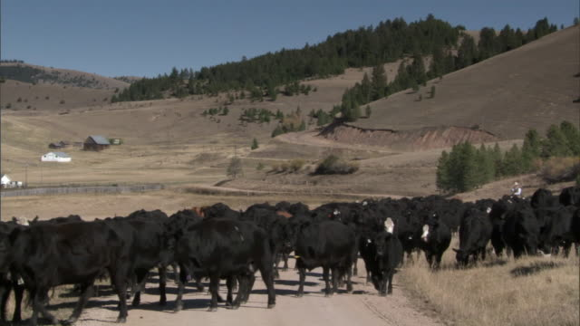 man herds domestic cattle on horseback, yellowstone, usa - wyoming ranch stock videos & royalty-free footage
