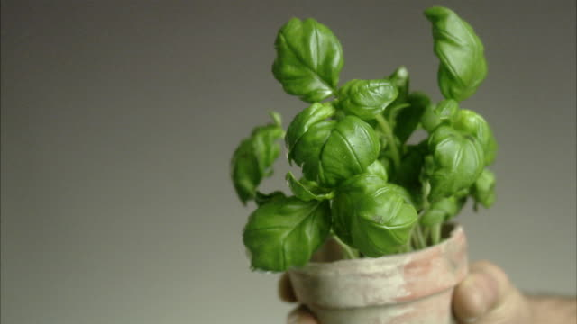 man holding a pot of basil. - basil stock videos and b-roll footage