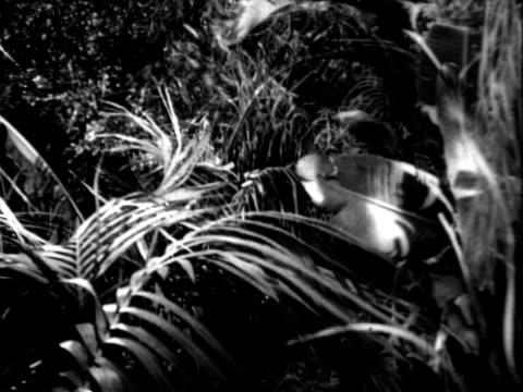 man in a gorilla suit walking through lush tropical bushes - anno 1955 video stock e b–roll