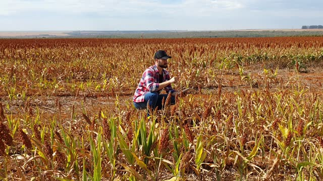 man in a sorghum plantation. researcher. - sorghum stock videos & royalty-free footage