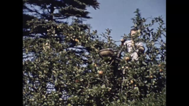 A man in an apple tree harvesting the fruit during wartime collecting the apples in a traditional basket