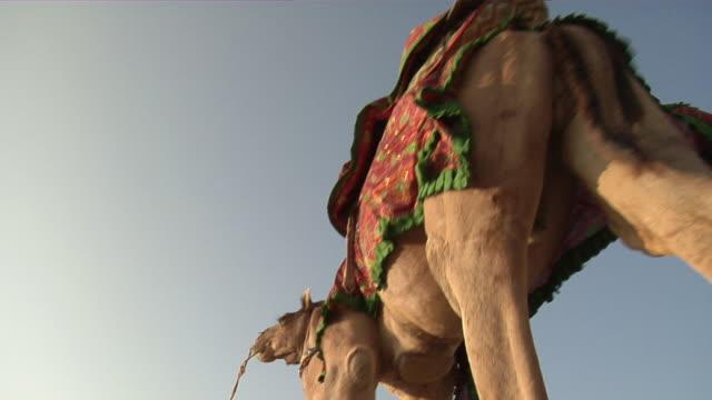 cu, la, man in traditional clothing leading camel, jaisalmer, rajasthan, india - arbetsdjur bildbanksvideor och videomaterial från bakom kulisserna