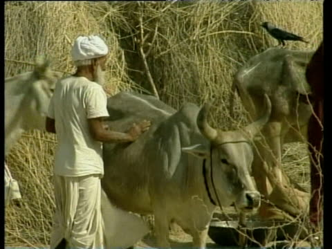 man in turban stroking cow at feeding station during drought may 00 - turban stock videos & royalty-free footage