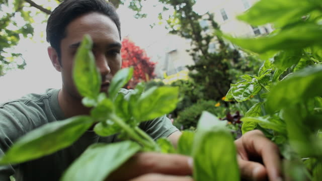 CU TU Man inspecting and picking herbs in backyard garden / Jersey City, New Jersey, USA