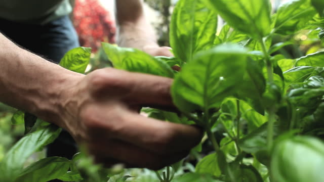 CU TU TD Man inspecting and picking herbs in backyard garden / Jersey City, New Jersey, USA