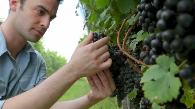 vidéos et rushes de man inspecting black grapes on the vine in vineyard - examen