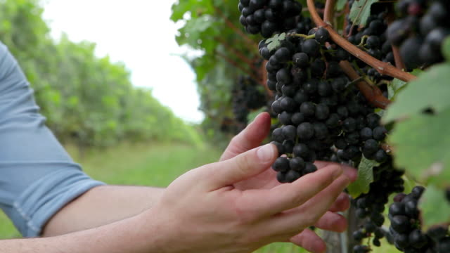 man inspecting black grapes on the vine in vineyard - ぶどう点の映像素材/bロール