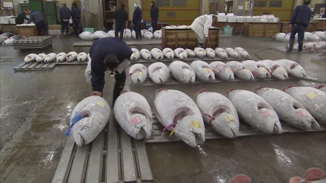 vídeos y material grabado en eventos de stock de ws pan man inspecting frozen tuna fish, tsukiji fish market, tokyo, japan - atún animal
