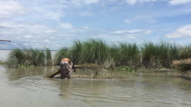 vídeos y material grabado en eventos de stock de a man is collecting wet jute from flood water to dry in a village of gaibandha bangladesh august 19 2017 - bangladesh