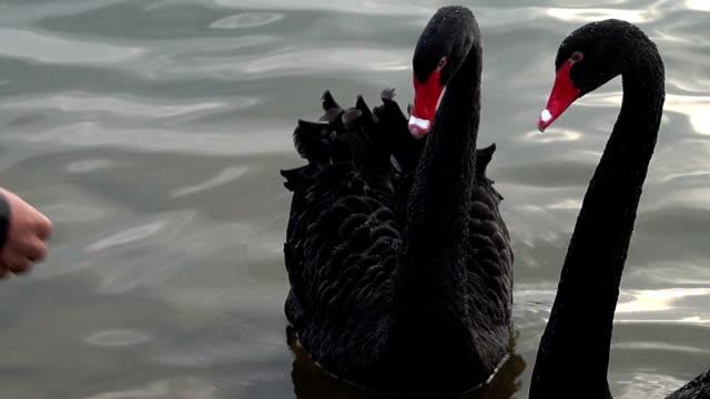hd: uomo è stuzzicare swan coppia. - aggressione video stock e b–roll