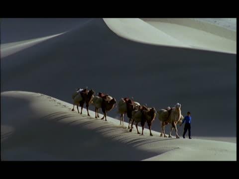ms, man leading camels across desert, gobi desert, china - kleine gruppe von tieren stock-videos und b-roll-filmmaterial