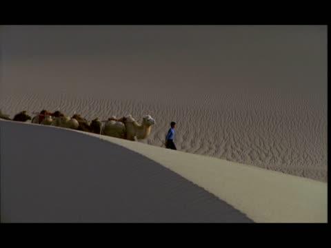 ms, pan, man leading camels across desert, gobi desert, china - kleine gruppe von tieren stock-videos und b-roll-filmmaterial